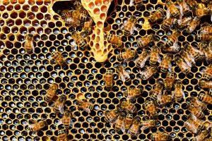 Manuka Honig Erfahrung - viele Bienen werden benötigt