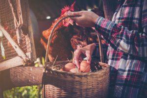 Egg Protein wird aus dem Eiklar der Hühnereier gewonnen