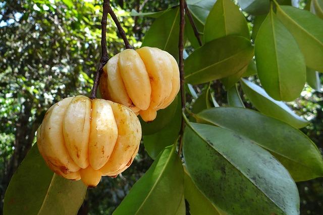 Garcinia Cambogia kann beim abnehmen helfen